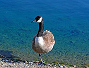 Mother Goose Posters - Canada Goose on One Leg Poster by Susan Wiedmann