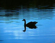 Birds - Canada Goose on Wide Water 9F by Gerry Gantt