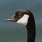 Bob and Jan Shriner - Canada Goose Portrait