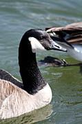 Canada Goose Profile Print by Anita Oakley