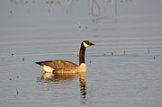 Canada Goose Photos - Canada Goose Reflection  by Robert Smice