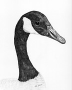 Geese Drawings Framed Prints - Canada Goose Framed Print by Rita Palmer