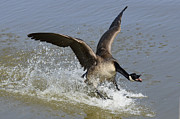 Goose In Water Prints - Canada Goose Touchdown Print by Bob Christopher