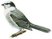 Horizontal Drawings Prints - Canada jay Print by Anonymous