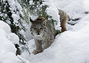 Shelley Myke Prints - Canada Lynx Hiding in a Winter Pine Forest Print by Inspired Nature Photography By Shelley Myke