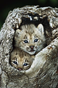 Two Animals Framed Prints - Canada Lynx Kitten Pair Framed Print by Konrad Wothe