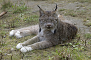 Lynx Sp Framed Prints - Canada Lynx Reclining Framed Print by Matthias Breiter