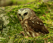 Shelley Myke Prints - Canadas Smallest Owl - Saw Whet Owl Print by Inspired Nature Photography By Shelley Myke