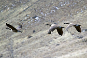 Canadian Geese Prints - Canadian Flight Print by Mike  Dawson