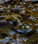 Green Photos - Canadian Frogs by Terry Troupe