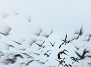 Birds Posters - Canadian Geese Blurred Movement Poster by Neal  Eslinger