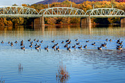 Williamsport Posters - Canadian Geese Flock To The Old Arch Street Bridge  Poster by Gene Walls