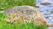 Baby Bird Prints - Canadian Geese Goslings Print by Jennie Marie Schell
