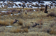 Mike  Dawson - Canadian Geese in Flight