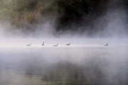 Early Digital Art Prints - Canadian Geese In Morning Fog Print by Christina Rollo
