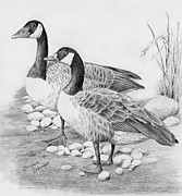 Bird Art Drawings Prints - Canadian Geese  Print by Suzanne Schaefer