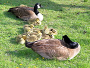 Baby Bird Photos - Canadian Geese by Valentino Visentini
