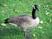 Canadian Goose Print by Aimee L Maher