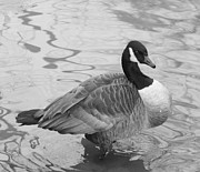 Goose In Water Framed Prints - Canadian Goose In Black and White Framed Print by John Telfer