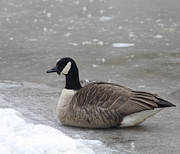 Canadian Goose In Winter Time In Manhassett Park Print by John Telfer
