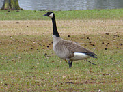 Cypress Stump Photos - Canadian Goose Strut by Joseph Baril