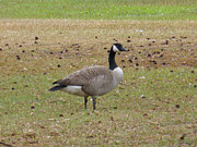 Cypress Stump Photos - Canadian Goose Strutting  by Joseph Baril