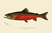 Antique Digital Art Posters - Canadian Red Trout Poster by Gary Grayson