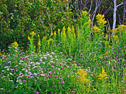Goldenrod Wildflowers Prints - Canadian Thistle and Goldenrod in Cape Breton Highlands NP- NS Print by Ruth Hager
