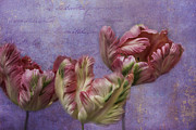 Frilly Prints - Cancan Parrot Tulips Print by Diane Schuster