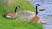 Baby Ducks Posters - Canda Geese and Goslings Poster by Jennie Marie Schell