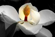 White Magnolias Posters - CANDLE in the WIND Poster by Karen Wiles