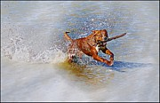 Fetching Water Prints - Canelo Loving Life Print by John  Kolenberg