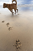 Animal Paw Print Posters - Canine Beach Jogging Poster by Eldad Carin
