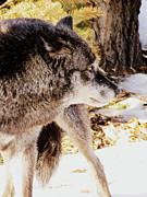 Ramona Johnston - Canis Lupus