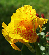 Canna Photos - Canna beauty by Kim Pate