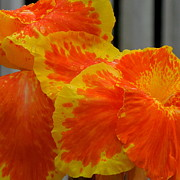 Canna Photos - Canna Can-Can by Renee Trenholm