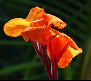 Canna Prints - Canna In Sunlight Print by Margaret Saheed