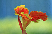 Canna Digital Art - Canna Lily by Karen Adams