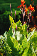 Canna Photos - Canna Lily by Optical Playground By MP Ray
