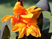Canna Posters - Canna Lily named Wyoming Poster by J McCombie
