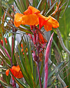 Canna Photos - Canna Lily with New Growth by Kenny Bosak