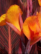 Canna Photos - Canna Painterly by Chalet Roome-Rigdon