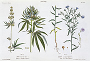 Pot Drawings Metal Prints - Cannabis and Flax Metal Print by Matthias Trentsensky
