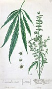 Blow Painting Prints - Cannabis Print by Elizabeth Blackwell