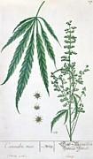 Cannabis Print by Elizabeth Blackwell