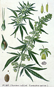 Bud Painting Framed Prints - Cannabis Framed Print by French School