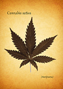 Botany Photo Prints - Cannabis sativa Print by Mark Rogan