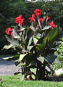 Cannas Framed Prints - Cannas Framed Print by Linda Feinberg