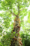 Charmian Vistaunet - Cannonball Tree Canopy