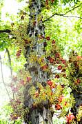 Charmian Vistaunet - Cannonball Tree Flowers